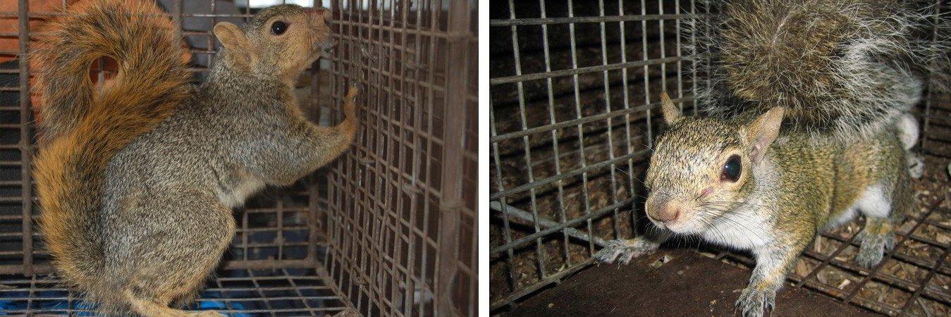 Squirrel Removal Burlington & Oakville