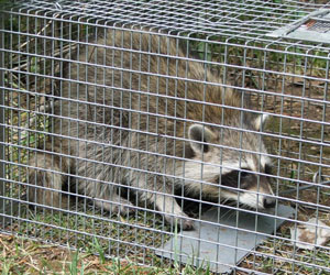 Raccoon Elimination Burlington & Oakville