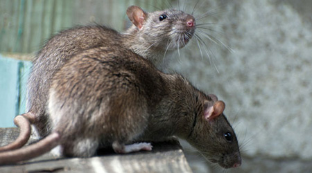 Sure Signs You Have Mice/Rat Living at Your Place
