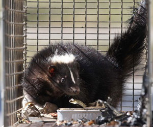 Skunk Removal Oakville
