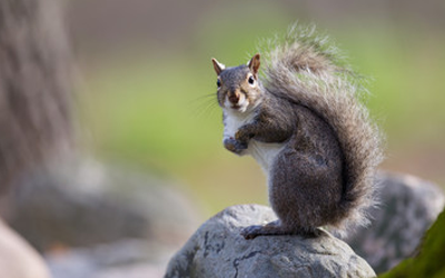 Squirrels In The Attic? 4 Preventive Measures To Take Right Now!
