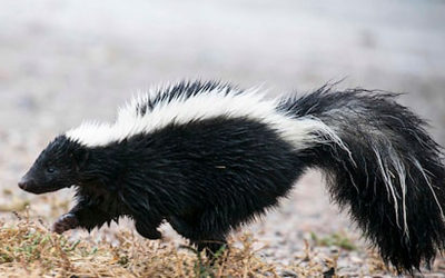 Three Signs You Have Skunk In Your Yard